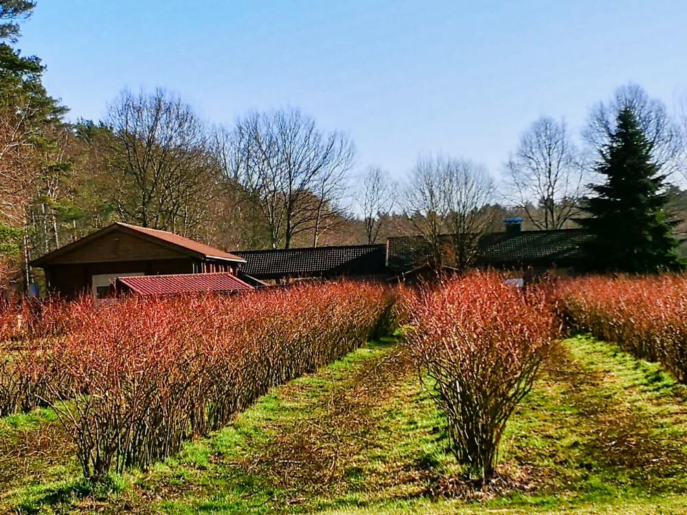 18. Heidelbeerplantage