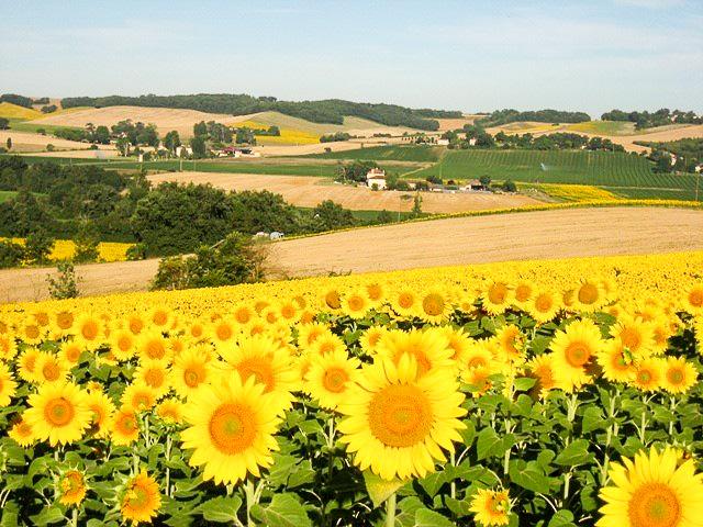 Sonnenblumen im Tal