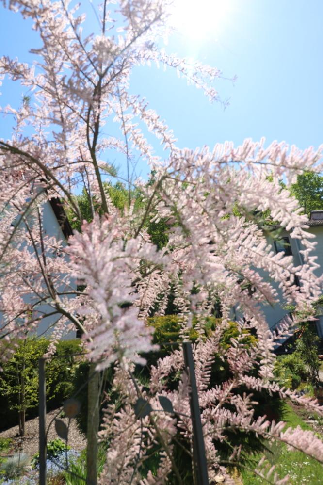 Obj 68_Garten Blütenstrauch
