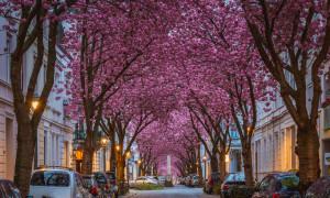 Kirschblüten in Bonn