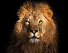 Profil eines Löwen