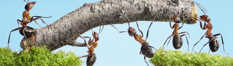 Ameisen transportieren Holz
